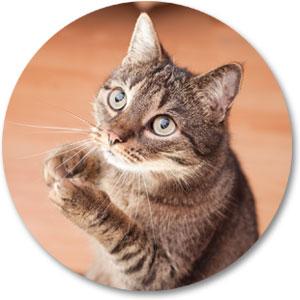Katze bettelt für Leckerli 123rf