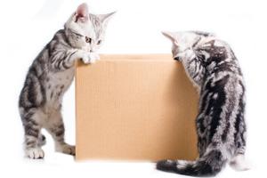 Katzen mit Schachtel 123rf
