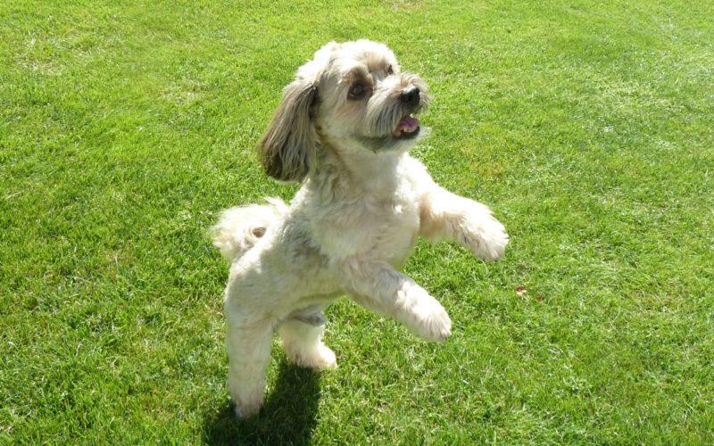 Hund Enzo beim Tanzen nach dem Testen vom Bio Hundefutter Defu