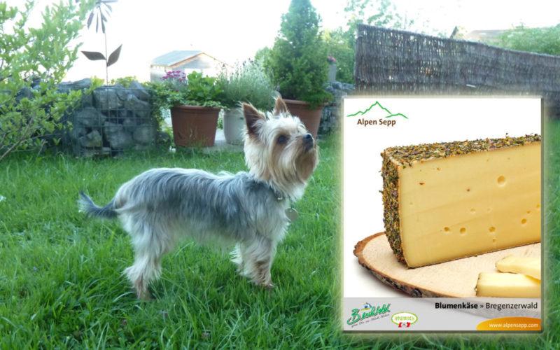 Hund Inka für Alpen Sepp und Berchtold Kaese