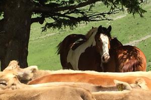 Pferd Jackomo Alm Lebenspuls 3