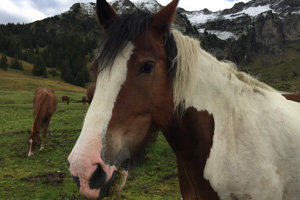 Pferd Jackomo Alm Lebenspuls 7